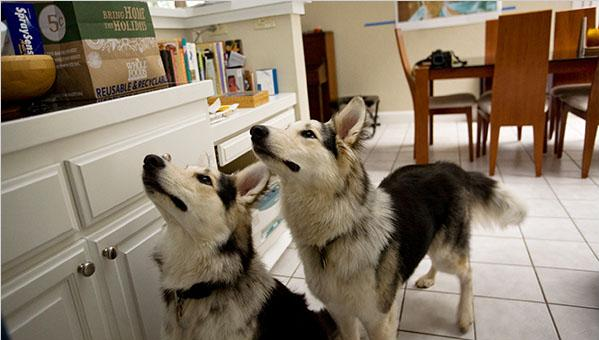 cloned-dogs