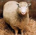 A photo of Dolly the Sheep, the most famous cloned animal, and the predecessor to cloned humans